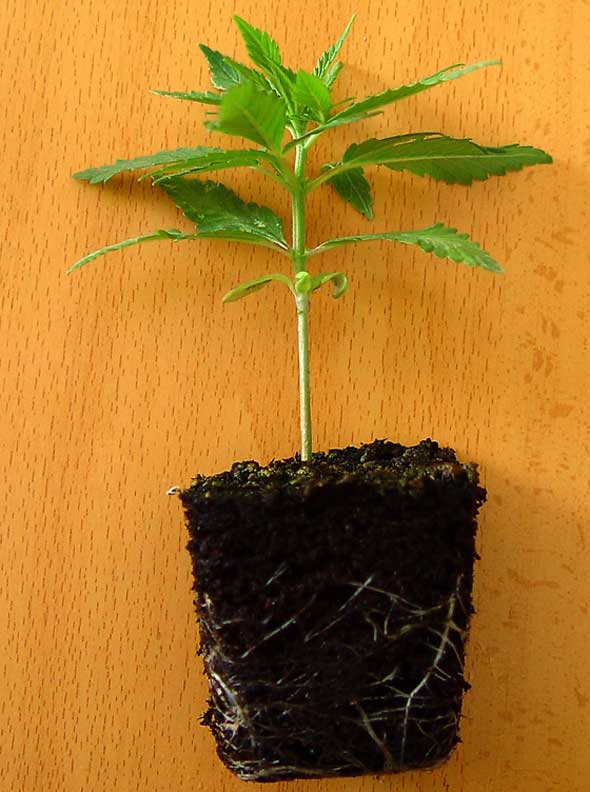 plantitas-de-marihuana Cómo sembrar marihuana con éxito