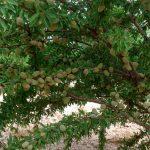 Guía de abonado del almendro