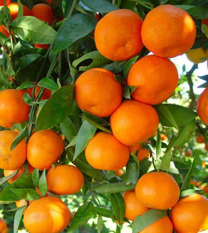 Ácidos húmicos y fúlvicos para naranjos