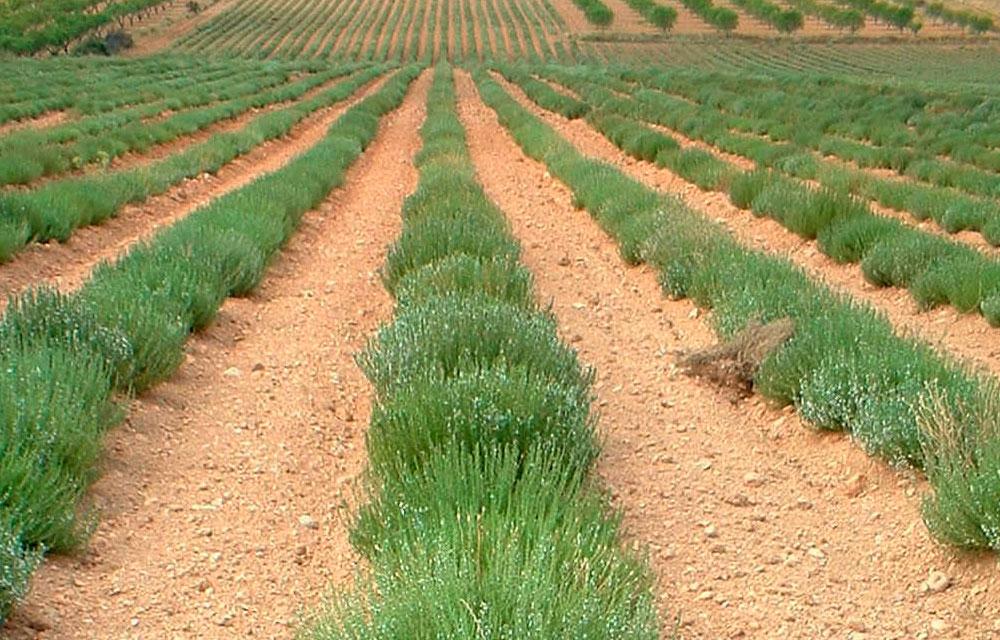 Informe técnico para el cultivo de Ajedrea