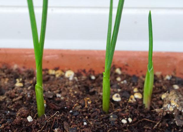 Plantar ajos con éxito en casa