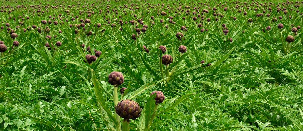 Alcachofas en cultivo