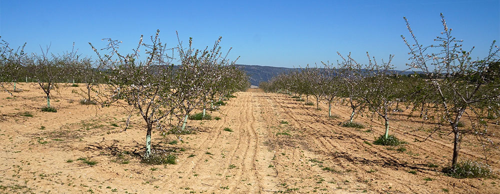 Almendros en cultivo