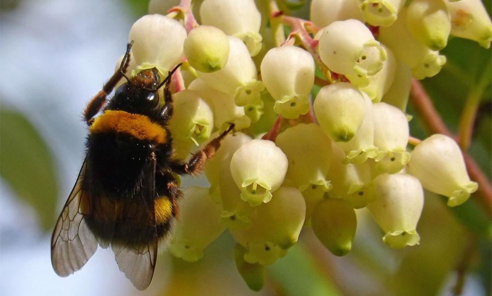 Flores de Arbutus unedo