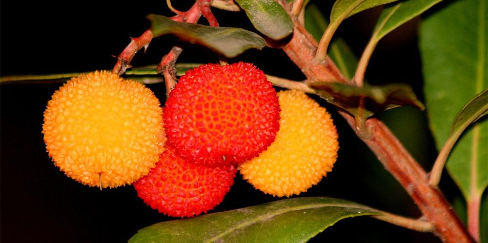 Frutos de Arbutus unedo
