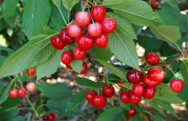 Frutos de cereza