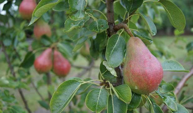 Peras en cultivo