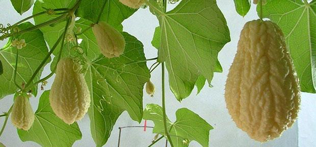 Calabaza Sechium edule