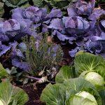 Informe técnico para el cultivo de las coles repollo