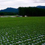 Informe técnico para el cultivo de la lechuga