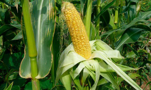 Informe técnico para el cultivo del maíz dulce