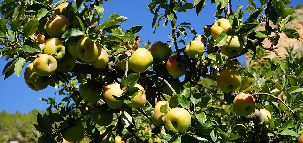 Carencias de molibdeno en manzanos