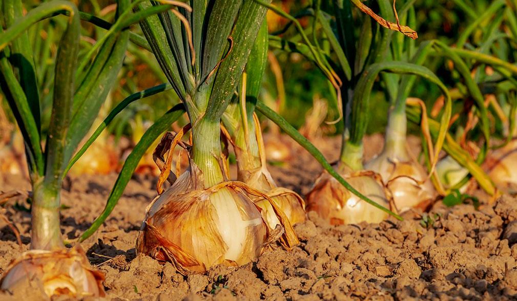 Cebolla en el campo