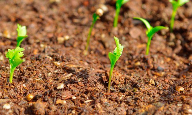 Informe técnico para el cultivo del cilantro