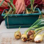 Cómo cultivar tus cebollas sin semilla en jardineras