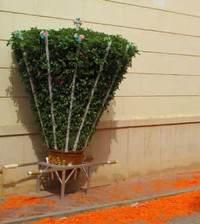cultivo-albahacas-gigantes