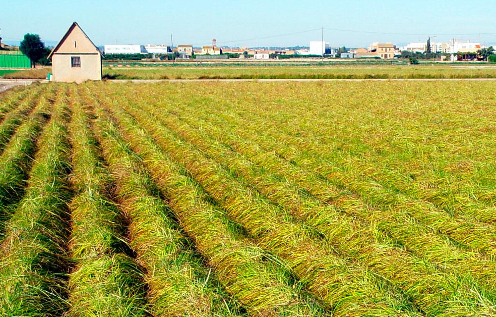 Cultivo de la chufa de Valencia
