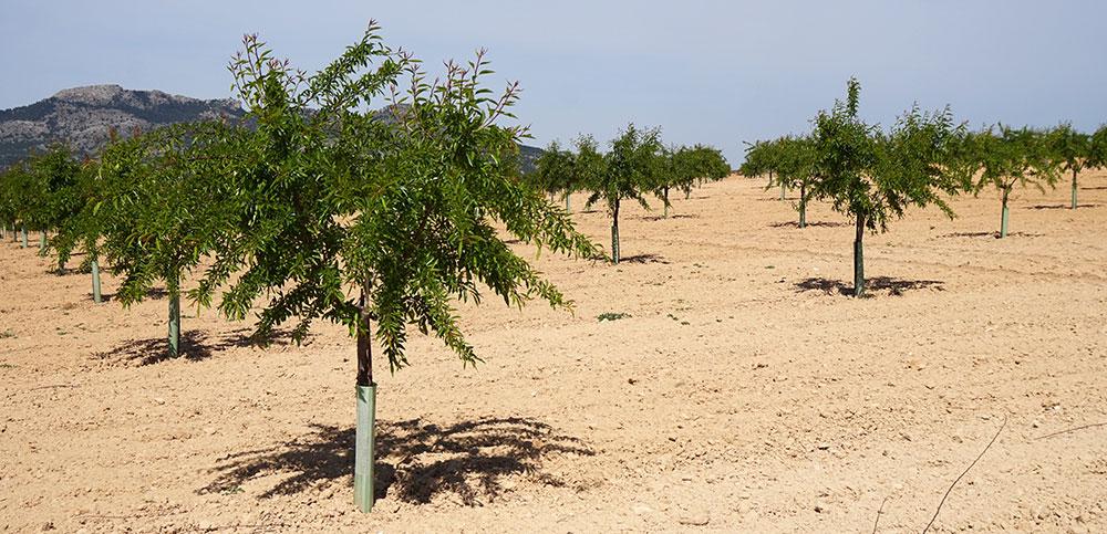 Cultivo del almendro en Els Alforins