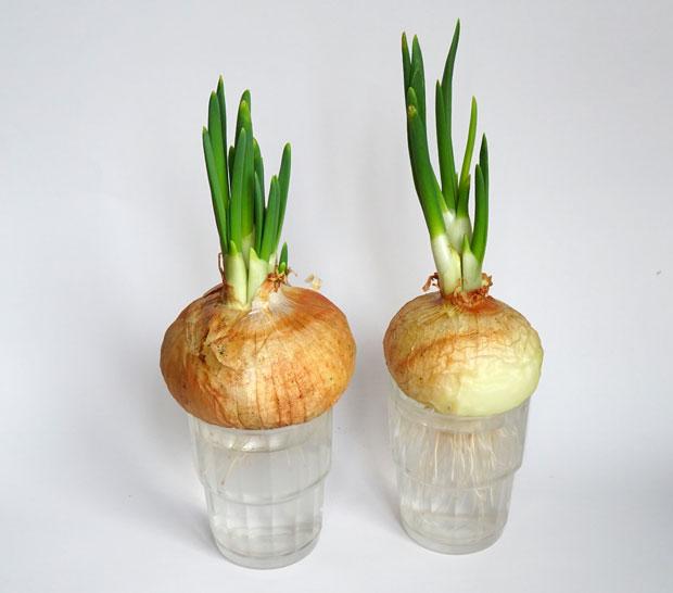 Cómo cultivar cebollas en la cocina
