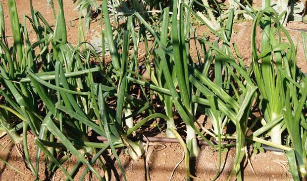 Cultivo de cebolla con bulbillos