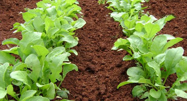 Cultivo de la rúcula en campo