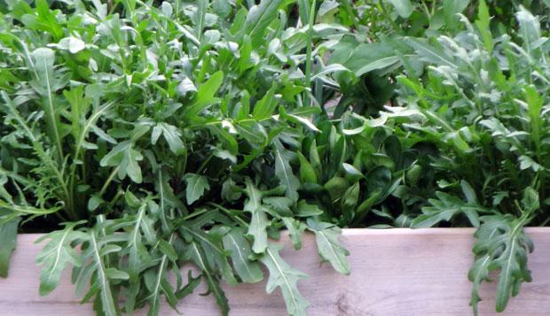 Cultivo de la rúcula en jardinera