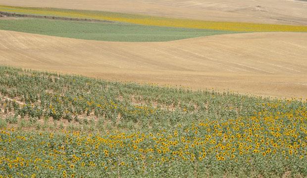 Cultivo de girasoles en La Mancha