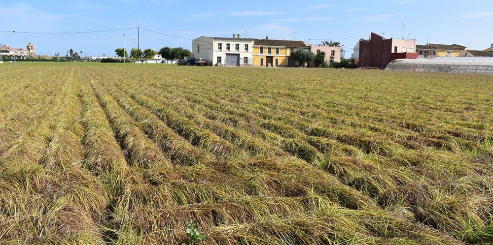 Cultivo de la chufa en Alboraya