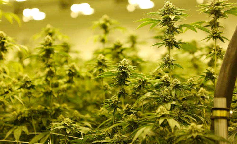 Cultivo de marihuana con fotoperiodo con luz