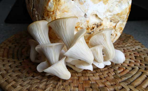 Cultivo de la seta ostra