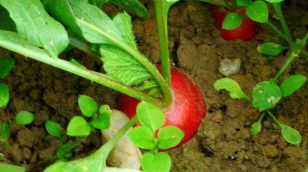 El cultivo del rábano