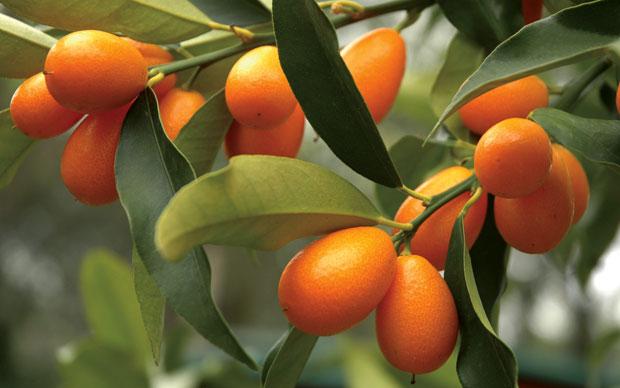 El cultivo del kumquat