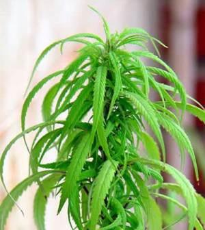 Cuidados para una planta de marihuana de interior for Plantas marihuana interior