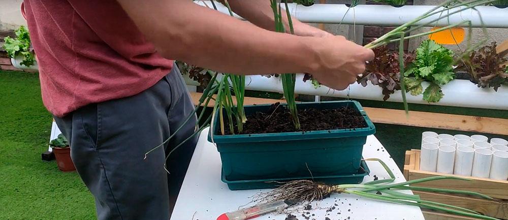 Realizar la resiembra de brotes de cebolla