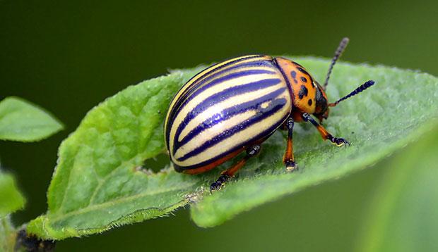 Escarabajo de la patata, Leptinotarsa decemlineata