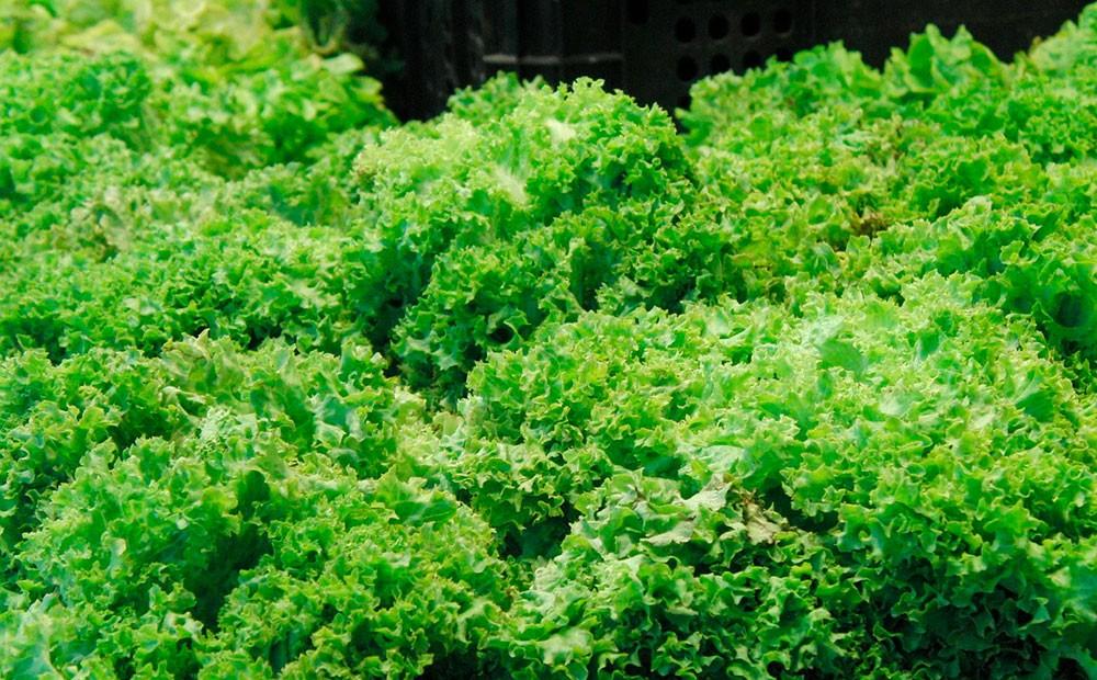 Escarola verde