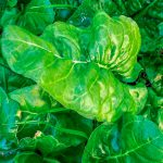 Informe técnico para el cultivo de la espinaca