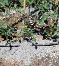 Fertilizantes a base de estruvita, biocarbones y cenizas