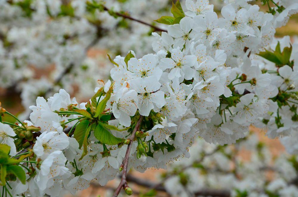 Flor cerezos