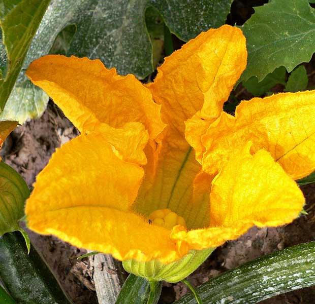 Necesidades de cultivo del calabacín
