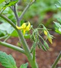 Flor de tomate