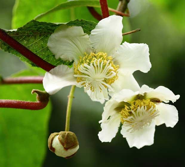 Flores de kiwi Actinidia deliciosa