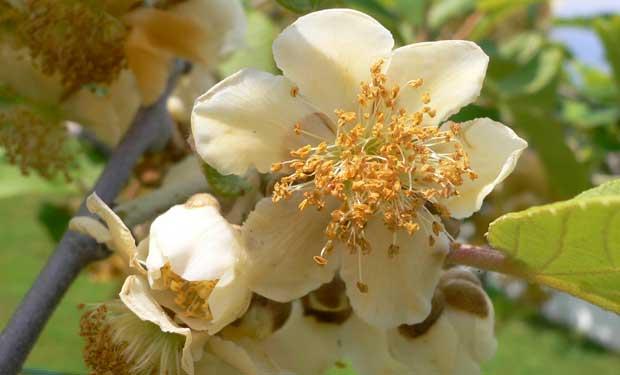 Flores de Kiwii