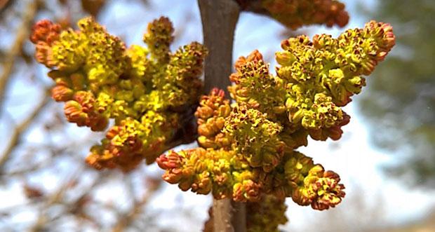 Flores del pistachero