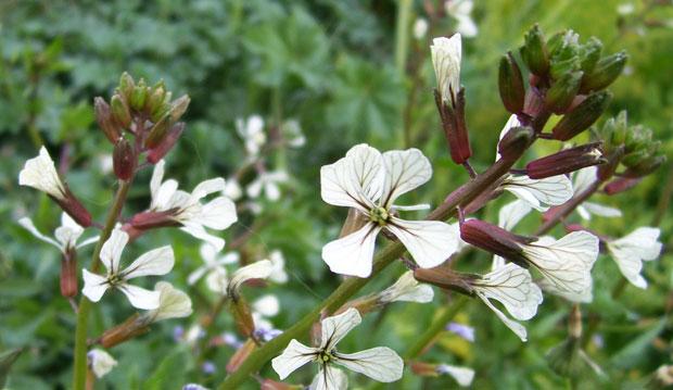 Flores de rúcula