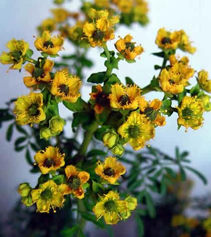 Ruda, la planta aromática mágica