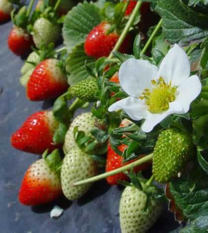 ¿Cómo plantar las fresas en el huerto urbano?
