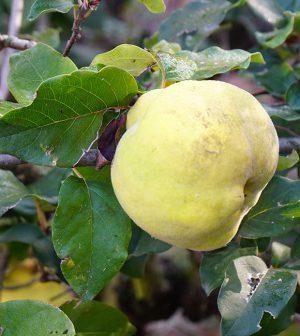 Fruto de membrillero