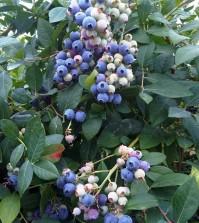 Compuestos fenólicos como antioxidantes naturales