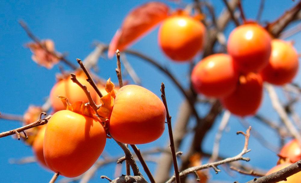 Frutos de caqui